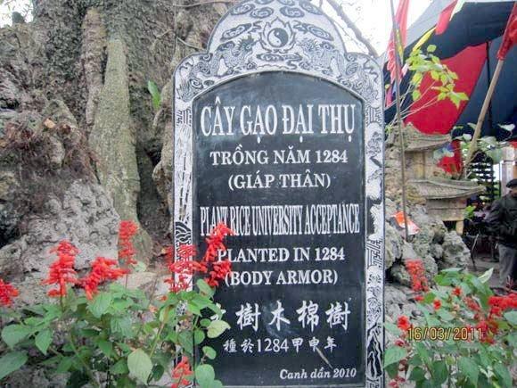 Cây gạo ở Đền Mõ, huyện Kiến Thụy (Hải Phòng).