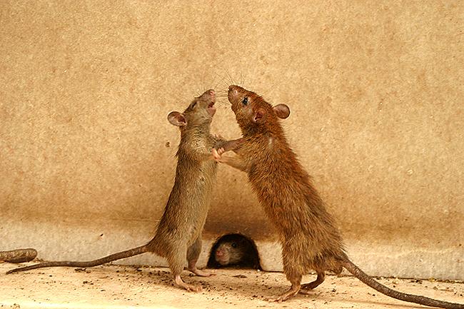 Chuột ở thahnh phố. Nguồn: OntheNet.