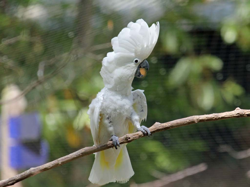 White Cockatoo, also Umbrella Cockatoo, (Cacatua alba) - Sylvan Heights Waterfowl Park, Scotland Neck, North Carolina