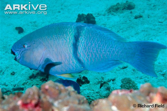 Cá mỏ vẹt  (Parrot Fish). Nguồn: Richard Field