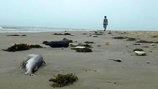 Cá chết nằm trên một bãi biển ở huyện Quảng Trạch, tỉnh Quảng Bình, Việt Nam, vào ngày 20, 2016. (AFP / Getty Images)