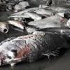 dead-fish4-282