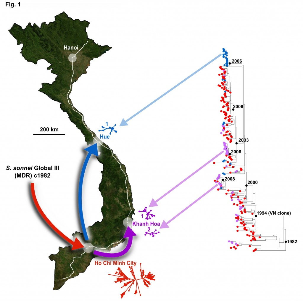 """Quá trình tiến hóa và sự lan rộng của nhân bản Việt Nam (Viet Nam clone), gốc ở Tp Hồ Chí Minhn, lan sang các thành phố khác ở Việt Nam. Nguồn: Holt KE, et al.""""Tracking the establishment of local endemic populations of an emergent enteric pathogen """", PNAS2013"""